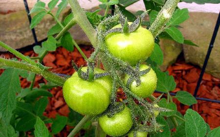 RELISH – sos z zielonych pomidorów: sprawdzony przepis